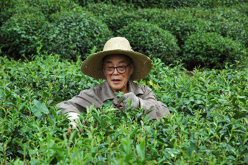 Plantation, Tea, Man, Harvest, Longjin