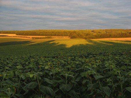 Sunflowers, Fields, Nature, Chatel Censoir, France