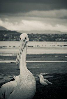 Pelican, Bird, Seagull, Wollongong, Lakeillawarra