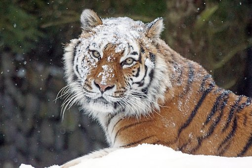 Amurtiger, Big Cat, Cat, Predator, Dangerous, Tiger