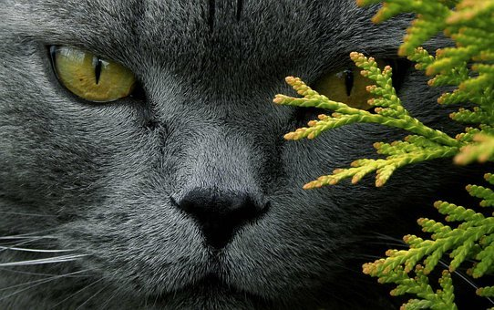 Cat, Tomcat, Animals, Grey Coat, British Breed, Eyes