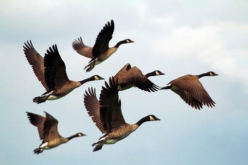 Geese, Birds, Flock, Wildlife, Flying, Formation, Sky