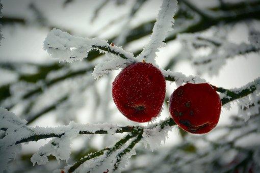 Winter, Apple, Cold, Frost, Ice, Apple Tree