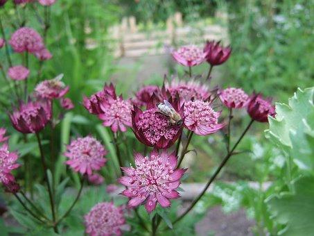 Flower, Astrantia, Garden