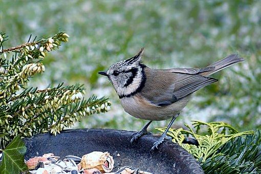 Bird, Tit, Crested Tit, Lubatumtit, Winter, Food