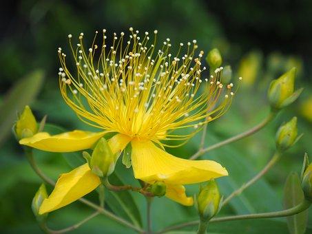 Biyouyanagi, Biyoyanagi, Flowers, Plant, Yellow Flowers
