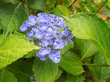 Ortensia, Flowers, Nature, Blue