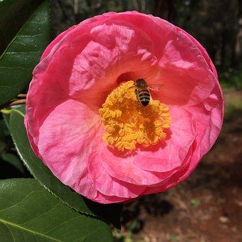 Camellia, Bee, Araluen Botanic Park