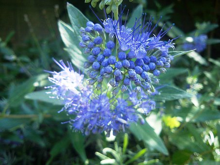 Caryopteris, Flower, Blue