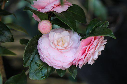 Camellia, Flower, Pink Perfection