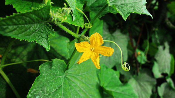 Flower, Leaves, Pumpkin Flower, Green