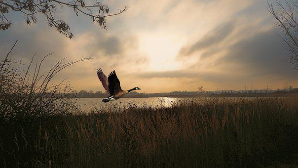 Twilight, Sunrise, Lake, Waters, Geese, Birds, Fly
