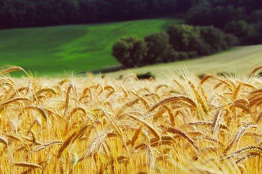 Wheat, Summer, Landscape, Hills, Trees, Nature