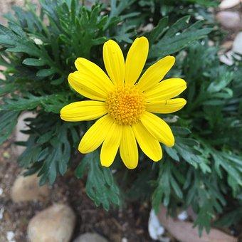 Europsy, Flower, Yellow Flower
