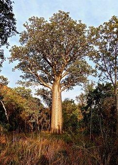 Bottle Tree, Australia, Botany, Native, Tree, Nature
