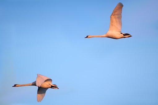 Swans, Birds, Fly, Singing Swans, Water Bird, Elbaue
