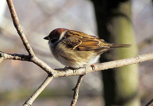 Birds, Sparrow, House Sparrow