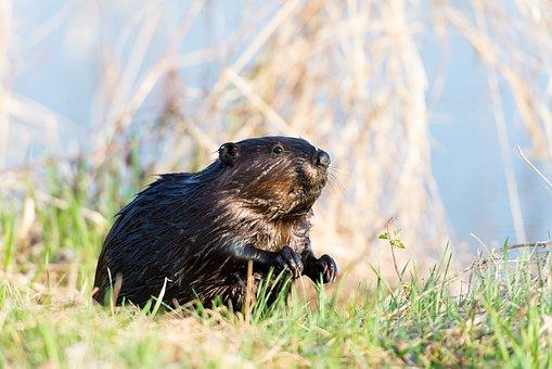 Beaver, Animal, Canadian