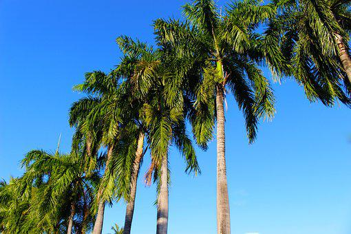 Palm Trees, Coconut Palm, Palm, Coconut, Tropical, Tree