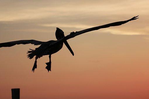 Pelican In Flight, Evening Sky, Atmosphere, Fly