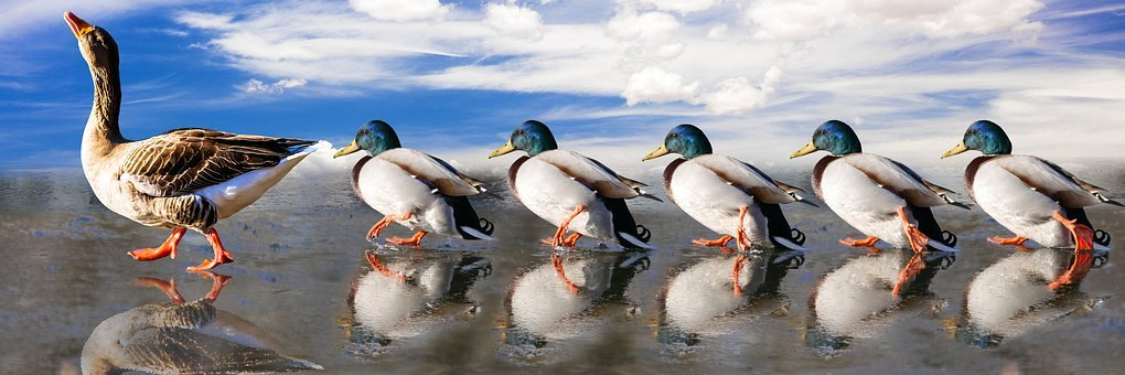 Animals, Ducks, Water Bird, Run, Marching, Mirroring