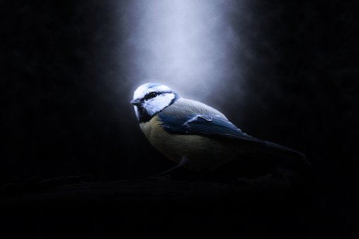 Bird, Blue Tit, Animal, Nature, Blue, Tit, Animal World