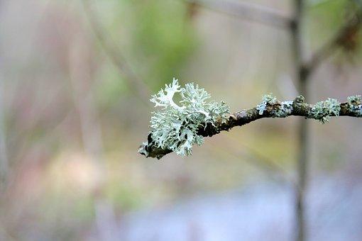 Icelandic Moss, Lichen, Branch, Tree, Nature, Scotland