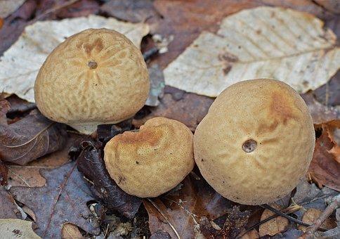 Puffball Mushrooms, Mushrooms, Fungi, Forest Floor