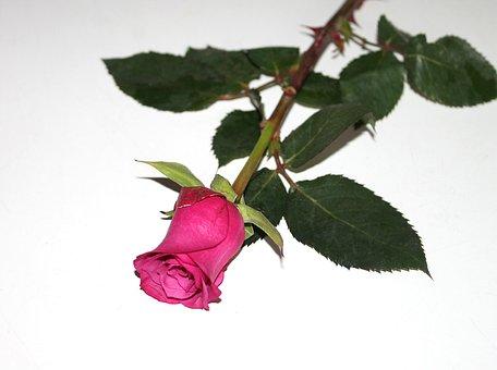 Rose, Red, Flowers, Flower, Red Rose, Love, Romance