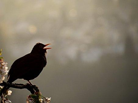 Blackbird, Bird, Singing, Evening Singing, Sit, Sing