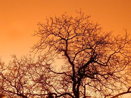 Tree, Sky, Sunset, Orange, Branch, Common Walnut