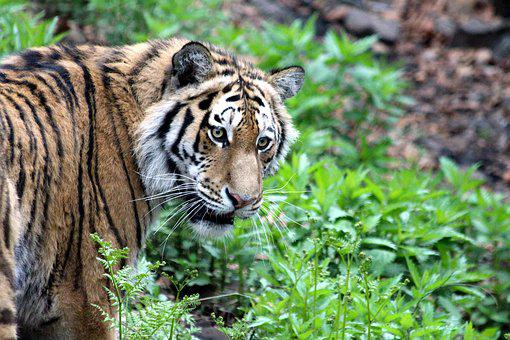Tiger, Amur Tiger, Ussurian Tiger