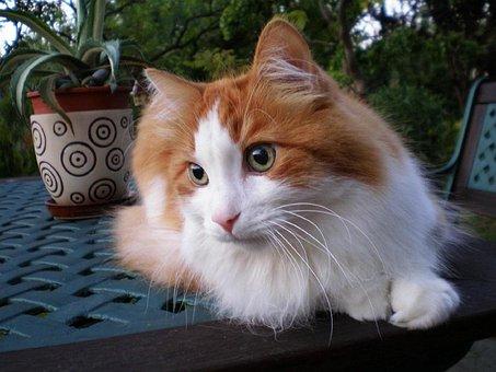 Cat, Tomcat, Turkish Angora, Pet, Animal, Animals