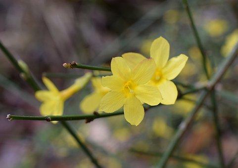 Winter Jasmine, Flower, Ornamental, Blossom, Bloom