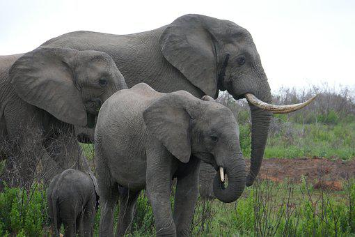 Elephants, Family, Elephant, Kariega, Animals, Safari