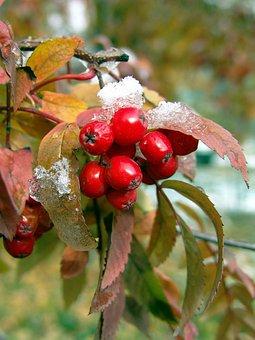 Rowan, Autumn, Red, Nature, Plant, Berry, Bright