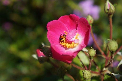 Flowers, Nature, Bee, Tulip, Pollination, Garden