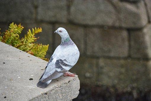 Pigeon, City, Bird, Animal, Animals, Plumage, Pen