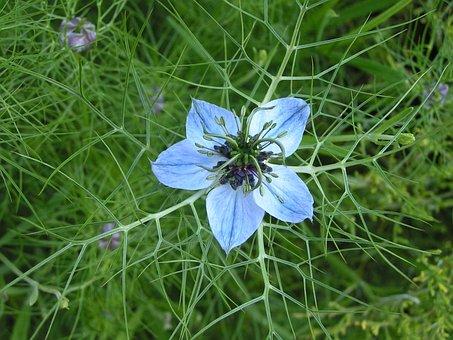 Cornflower, Blue, Petal, Nature, Flower, Plant