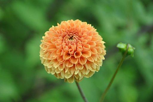 Pompon Dahlia, Garden, Dahlia, Dahlia Garden, Flower