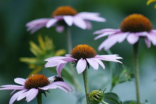 Marguerite, Flower, Petals