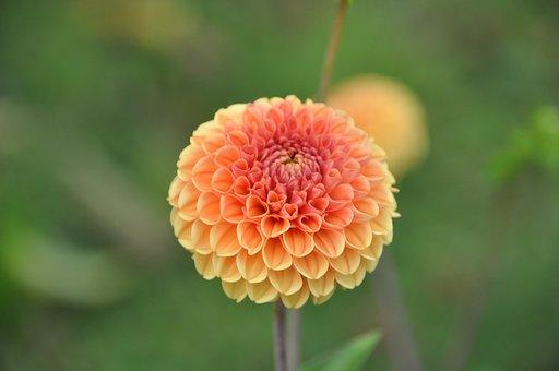 Dahlia, Garden, Dahlia Garden, Flower, Late Summer