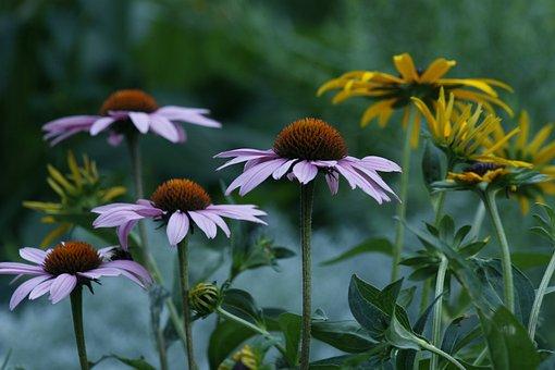 Marguerite, Flower, Garden