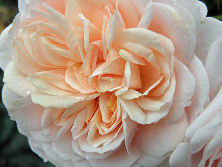 Rose, Floral, Flower, English Rose, Pink, Peach, Garden