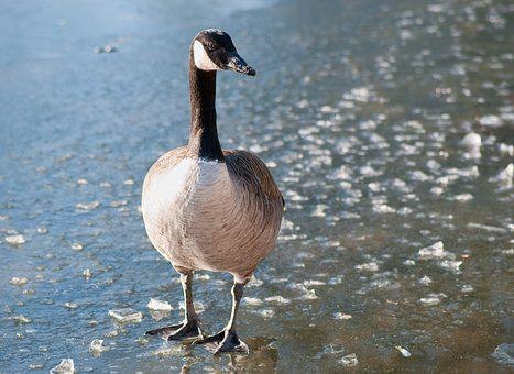 Canada Goose, Goose, Bird, Frozen Lake