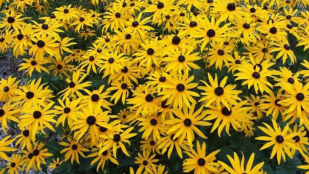 Marguerite, Flower, Yellow