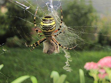 Wasp Spider, Network, Prey