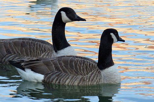 Waterfowl, Palmiped, Canada Goose