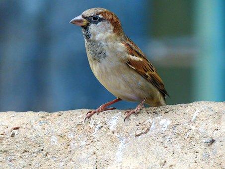 Common Sparrow, Sparrow, Bird, Perched, Feathers, Beak