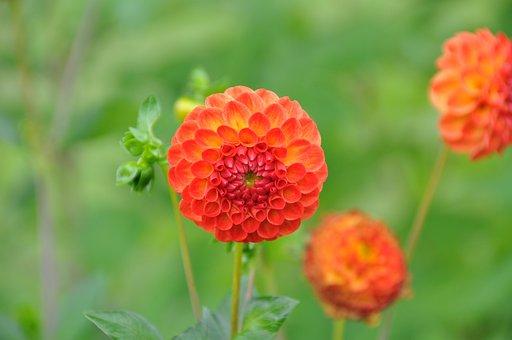 Pompon Dahlia, Garden, Dahlia, Flower, Plant, Blossom